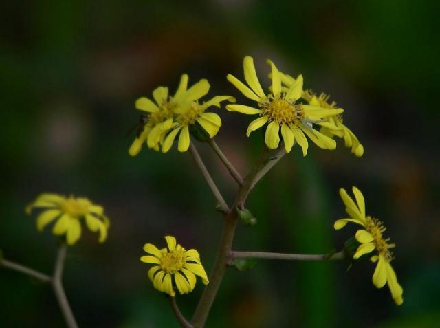 ツワブキの花:クリックして大きな画像でご覧下さい